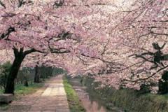 ポスター■桜/哲学の道■1832
