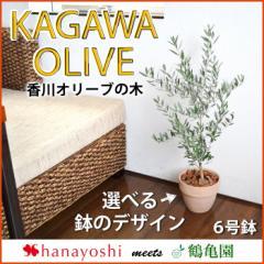 オリーブの木 観葉植物 花由がお届けする鶴亀園の香川オリーブの木 6号鉢 観葉植物 インテリア 鉢植え