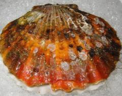 国産 活ホタテ貝 殻付 標準サイズ 25枚入