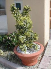 ウサギ(キンメツゲ(金芽ツゲ)) かわいい動物トピアリー 玄関 アプローチ 植木 オブジェ