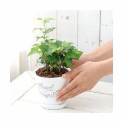 (観葉)ヘデラ(品種おまかせ) 陶器鉢植え フレグランドラウンドポットXS(1鉢) 受け皿付き