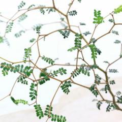 (観葉)メルヘンの木 ソフォラ リトルベイビー 3号(1ポット)
