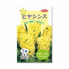 (観葉)ヒヤシンス球根(水栽培向き) 黄色(シティオブハーレム)(1球)