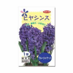 (観葉)ヒヤシンス球根(水栽培向き) 青紫色(ブルージャケット)(1球)