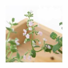 (観葉植物)ハーブ苗 ミント キャットミント ピンク 3号(1ポット) 家庭菜園