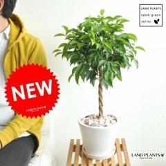 new!! ベンジャミン 大人気のトピアリー仕立て 白色デザイン陶器に植えたフィカス・ベンジャミナ ゴム ゴムの木