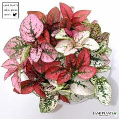 new! 最も美しい植物 ヒポエステス ミックスカラー 白色丸型陶器に植えた ソバカスソウ
