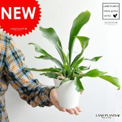 コウモリラン ボリュームたっぷり 卓上サイズ 4号白色鉢カバーセット ビカクシダ 水苔 コウモリ蘭 蘭