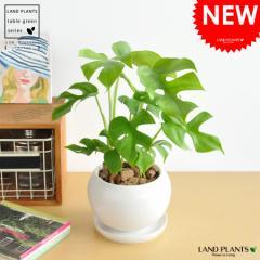 new!! ヒメモンステラ 白色丸型陶器鉢に植えた 葉の形がとっても かわいい ミニモンステラ   ラフィドホラ・テトラスペルマ