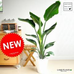 new!! オーガスタ アジアングリーン 白セラアート鉢に植えた ストレリチア・ニコライ  美しい樹形♪