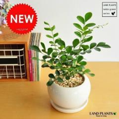 new!! シルクジャスミン 白色丸型陶器鉢に植えた 良い香りの花が咲く ゲッキツ ジャスミン 月橘 オレンジジャスミン イヌツゲ
