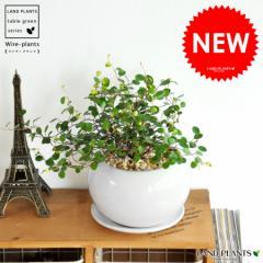 【 観葉植物 】 ワイヤープランツ 白色丸型陶器に植えたつる性の植物 ワイヤーバインtable green series