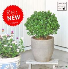 NEW!! セイヨウツゲのトピアリー デザインの良いテラコッタ鉢の 鉢植えボックスウッド・ボールGarden green series
