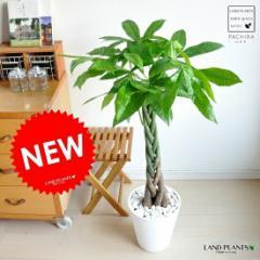 new!! パキラ 5本編込み仕立て 白セラアート鉢に植えた パキラ アクアティカ スタンダードパキラくん