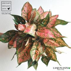new!!    アグラオネマ アジアの宝石 と呼ばれる赤葉の品種アグラオネマ・バレンタイン