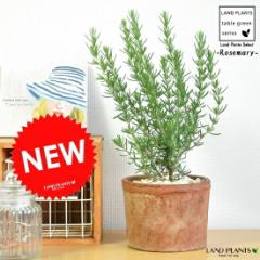 new!! ローズマリー   モスポット鉢に植えた 料理に使える  卓上サイズの   ハーブ  シリンダー型 テラコッタ鉢境界垣 生垣 海のし