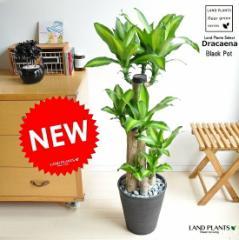 new!! 幸福の木 マッサンゲアナ 黒セラアート鉢に植えた ドラセナマッサン 祝い花 ドラセナ・マッサン・ゲアナ(Massangeana)