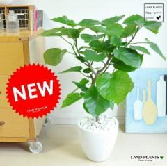 new!! ウンベラータ 幹のしっかりした小葉タイプ 白色エッグポット植えたフィカス・ウンベラータ ホワイトカラーウランベータ 日傘
