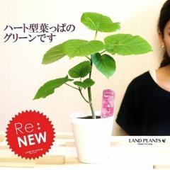【お試しサイズ】 フィカス・ウンベラータ インテリア雑誌でも大注目のグリーン!! 4号卓上サイズウランベータ