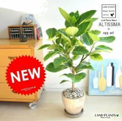 NEW!! 自然樹形 アルテシーマ バリエガータ 茶色エッグポット植えた 【送料無料】 こだわり樹形 斑入りゴムの木フィカス アルテ