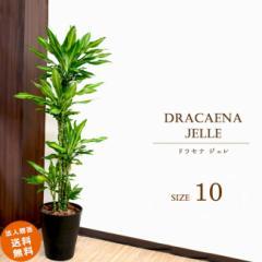 【装飾プレゼント】寒さに強い耐寒性あり 大型10号 ドラセナ ジェレ