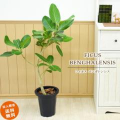 【装飾バークプレゼント】葉脈が美しいゴムの木 フィカス ベンガレンシス 中型8号