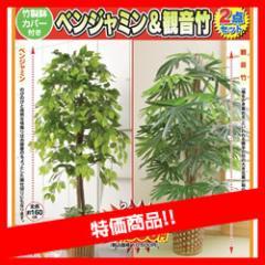 最大15倍 限定販売 ベンジャミン&観音竹 特別2個セット 大型 観葉植物 店舗やリビングにもお勧め 観葉 植物 今ならもれ