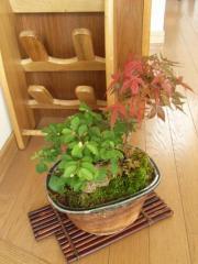 盆栽【もみじ】 【睡蓮木】【寄せ植え】【ギフト】