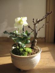 【幸せの白い花】 【幸せギフト】盆栽:桜と クリスマスローズの寄せ植え