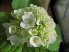 山アジサイ 【紫陽花鉢植】パールホワイトアジサイ