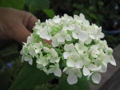 アナベル紫陽花母の日に白い紫陽花 開花は六月頃です