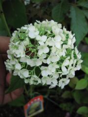 アナベル アジサイ紫陽花鉢植 【ギフト】