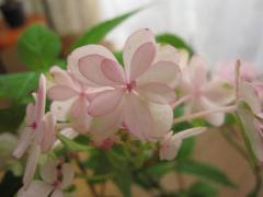 紫陽花アジサイ羽衣の舞 【あじさい】 鉢入り   信楽焼