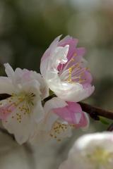 【庭木苗】 【源平しだれ桃  】【桃】  桃の花   2017年花芽月