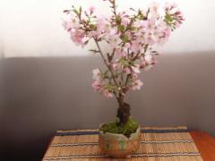 盆栽:御殿場桜