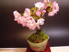 【桜盆栽】2018年4月開花 自宅でお花見ができるかわいい桜盆栽  【盆栽】旭山 桜のミニ盆栽】 桜盆栽は 四月頃に開花します。