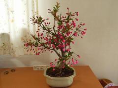 盆栽:花海棠桜