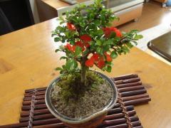 盆栽【長寿梅】【ミニ盆栽】 【送料無料】【誕生日 】