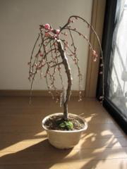 盆栽: しだれ梅盆栽  赤  【送料無料】 しだれ梅 花芽有り 開花は二月頃です。