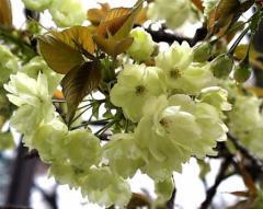 ウコン桜鬱金桜桜鉢植