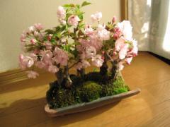 盆栽:桜並木桜盆栽お祝い桜盆栽信楽鉢入り 送料無料   信楽コップ付き