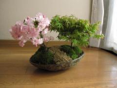 盆栽:桜ともみじ盛り合わせ :【送料無料】桜紅葉盆栽