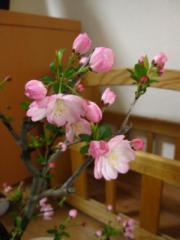 送料無料盆栽:花海棠桜桜盆栽  お花見セット