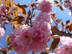 桜の苗 【麒麟桜】桜庭木