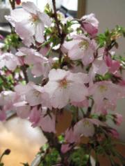 桜御殿場桜桜盆栽    サクラ  和の贈り物   開花は2015年 3月下旬頃