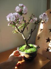 八重桜 【盆栽】桜盆栽  朝日山桜盆栽で 日本の花見