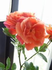 【バラ】【鉢植え】 ディズニランド ローズ【送料無料】