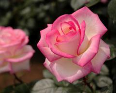 【送料無料】【バラ】【 鉢植え】  プリンセス ドゥ モナコ