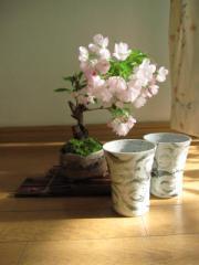 自宅で楽しく お花見 桜盆栽:桜  仲良く お花見盆栽 風雲信楽コップ付き