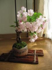 父の日プレゼントに桜盆栽  お花見盆栽